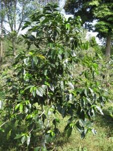 coffeefinca6